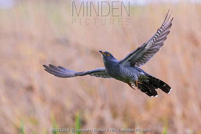Cuckoo (Cuculus canorus) in flight, Germany. April.
