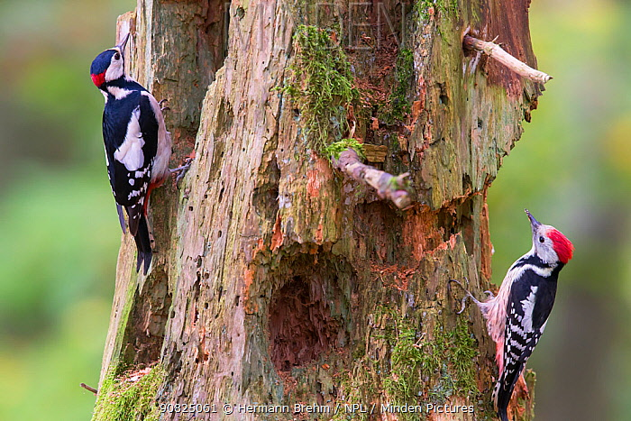 Great spotted woodpecker (Dendrocopos major) left, and Middle spotted woodpecker (Dendrocoptes medius) right, on tree trunk, Germany. March