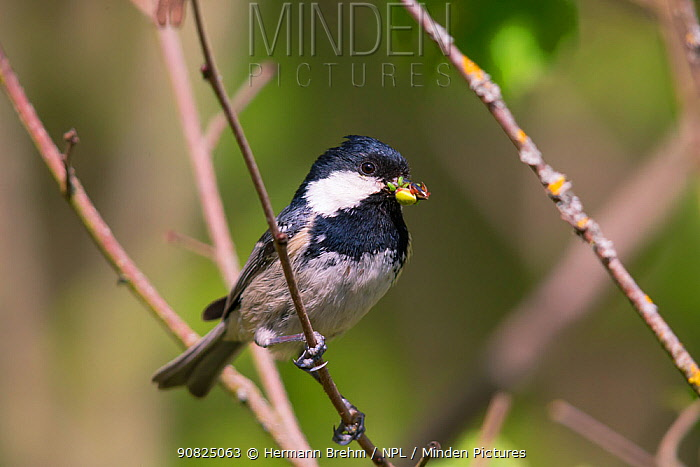 Coal Tit (Parus ater) with food for the chicks, Germany. April