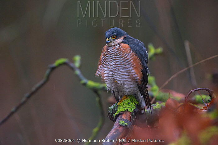 Sparrowhawk (Accipiter nisus) male, Germany. December