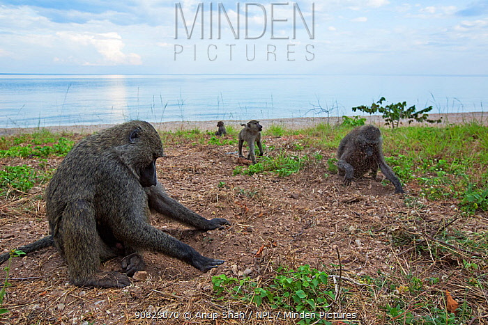 Olive baboons digging in soil for the roots of sedges. Gombe National Park, Tanzania.