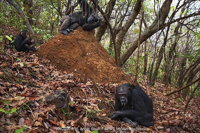 Eastern chimpanzee (Pan troglodytes schweinfurtheii) female 'Nasa' aged 25 years watching the G Family termite fishing . Gombe National Park, Tanzania. September 2014.