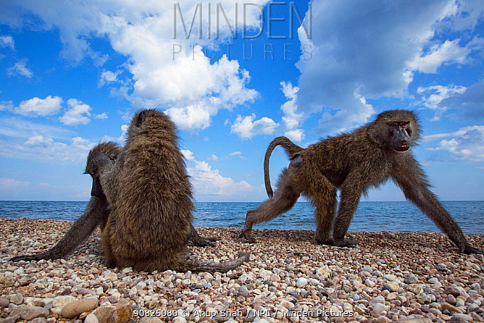 Olive baboons resting and grooming on the shore of Lake Tanganyika. Gombe National Park, Tanzania.