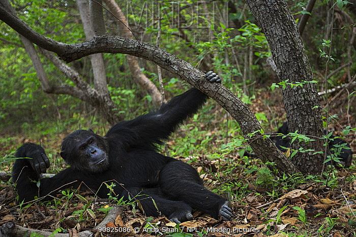 Eastern chimpanzee (Pan troglodytes schweinfurtheii) alpha male 'Ferdinand' aged 22 years resting . Gombe National Park, Tanzania. September 2014.