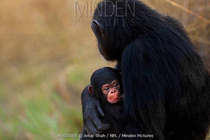 Eastern chimpanzee (Pan troglodytes schweinfurtheii) female 'Fanni' aged 33 years with her baby aged 3 weeks . Gombe National Park, Tanzania. September 2014.