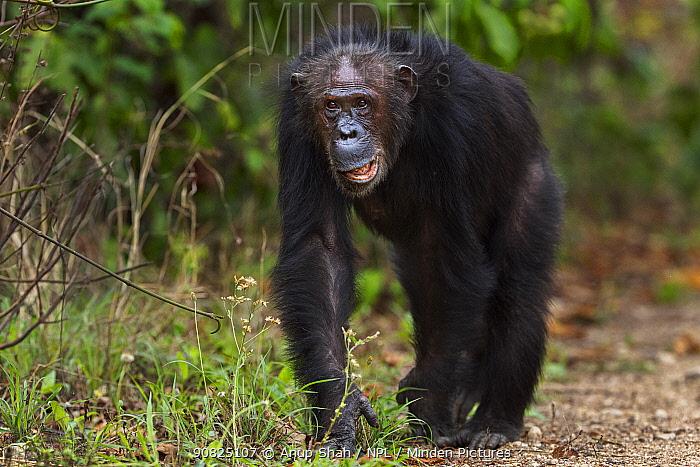 Eastern chimpanzee (Pan troglodytes schweinfurtheii) female 'Gremlin' aged 43 years walking . Gombe National Park, Tanzania. September 2014.