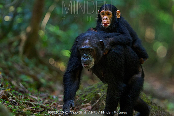 Eastern chimpanzee (Pan troglodytes schweinfurtheii) female 'Dilly' aged 27 years carrying infant son 'Duke' aged 3 years on her back . Gombe National Park, Tanzania. September 2014.
