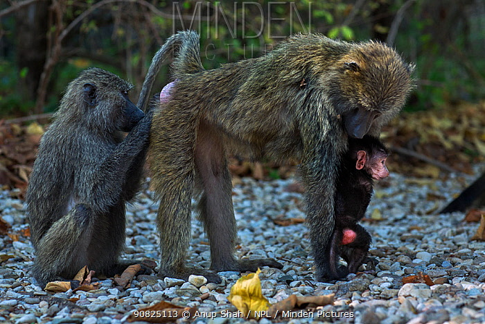 Olive baboon (Papio anubis) female with a baby aged about 3 months being groomed. Gombe National Park, Tanzania.
