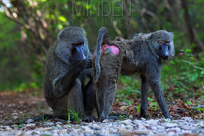 Olive baboon (Papio anubis) male grooming a female. Gombe National Park, Tanzania.