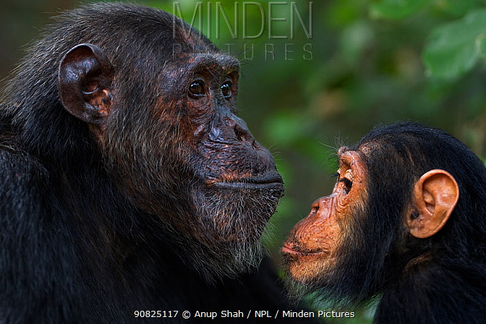 Eastern chimpanzee (Pan troglodytes schweinfurtheii) male 'Faustino' aged 25 years watched by infant male 'Google' aged 5 years . Gombe National Park, Tanzania. September 2014.