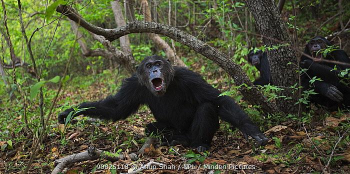 Eastern chimpanzee (Pan troglodytes schweinfurtheii) alpha male 'Ferdinand' aged 22 years responding to an incoming male . Gombe National Park, Tanzania. September 2014.