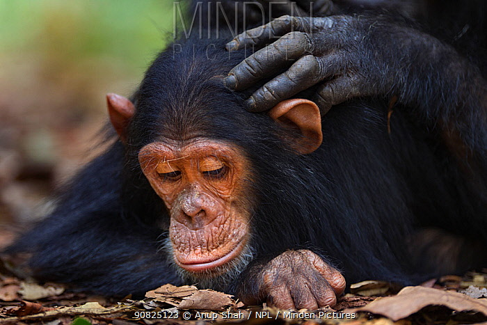 Eastern chimpanzee (Pan troglodytes schweinfurtheii) infant make 'Google' aged 5 years being groomed . Gombe National Park, Tanzania. September 2014.
