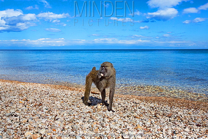 Olive baboon (Papio anubis) female licking stones for minerals on the shore of Lake Tanganyika. Gombe National Park, Tanzania.