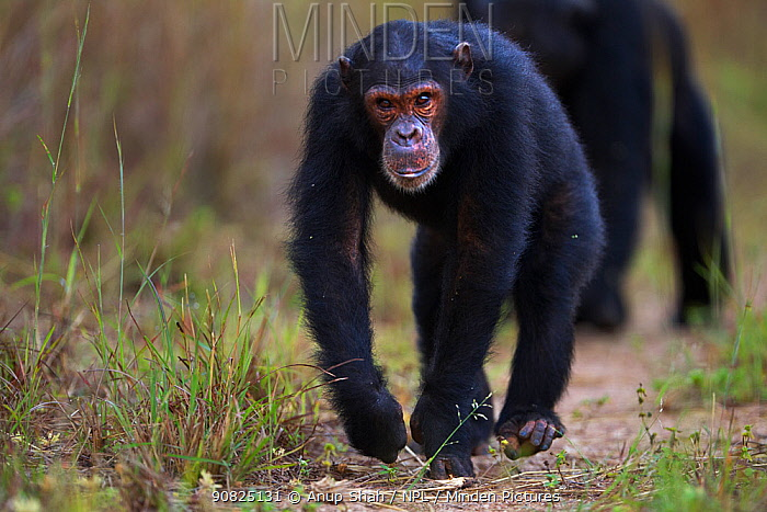 Eastern chimpanzee (Pan troglodytes schweinfurtheii) adolescent male 'Tom' aged 13 years walking . Gombe National Park, Tanzania. May 2014.