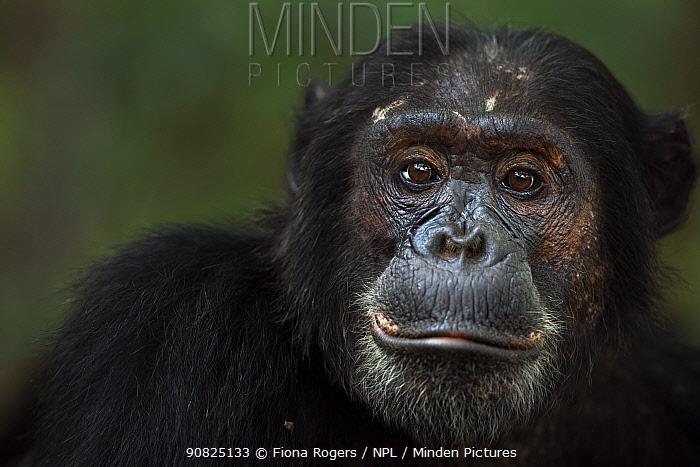 Eastern chimpanzee (Pan troglodytes schweinfurtheii) male 'Titan' aged 19 years portrait . Gombe National Park, Tanzania. May 2014.