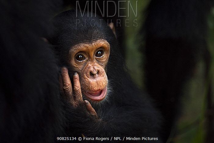 Eastern chimpanzee (Pan troglodytes schweinfurtheii) infant female 'Gossamer' aged 2 years portrait . Gombe National Park, Tanzania. May 2014.