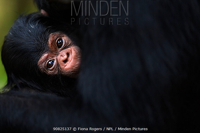 Eastern chimpanzee (Pan troglodytes schweinfurtheii) baby aged 3 weeks belonging to 'Fanni' aged 33 years . Gombe National Park, Tanzania. September 2014.