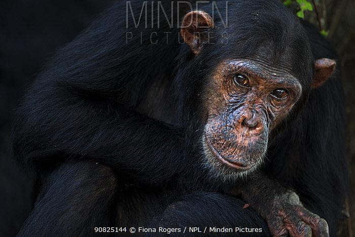 Eastern chimpanzee (Pan troglodytes schweinfurtheii) adolescent male 'Fundi' aged 14 years portrait . Gombe National Park, Tanzania. May 2014.