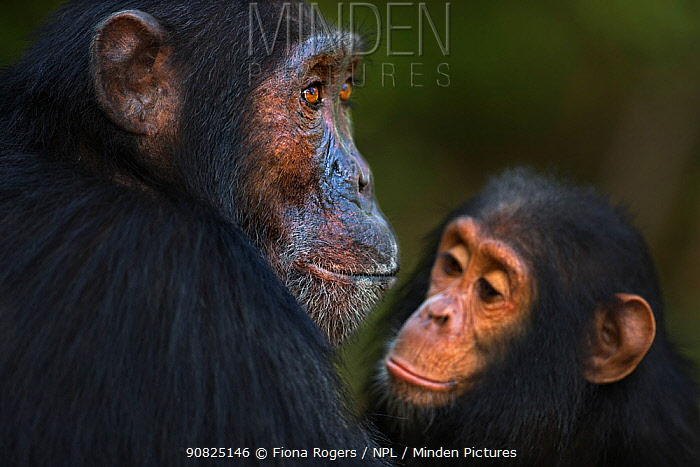 Eastern chimpanzee (Pan troglodytes schweinfurtheii) male 'Sampson' aged 18 years watched by infant male 'Gizmo' aged 4 years . Gombe National Park, Tanzania. May 2014.