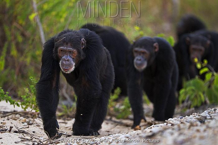 Eastern chimpanzee (Pan troglodytes schweinfurtheii) males knuckle walking along the shore of Lake Tanganyika . Gombe National Park, Tanzania. May 2014.