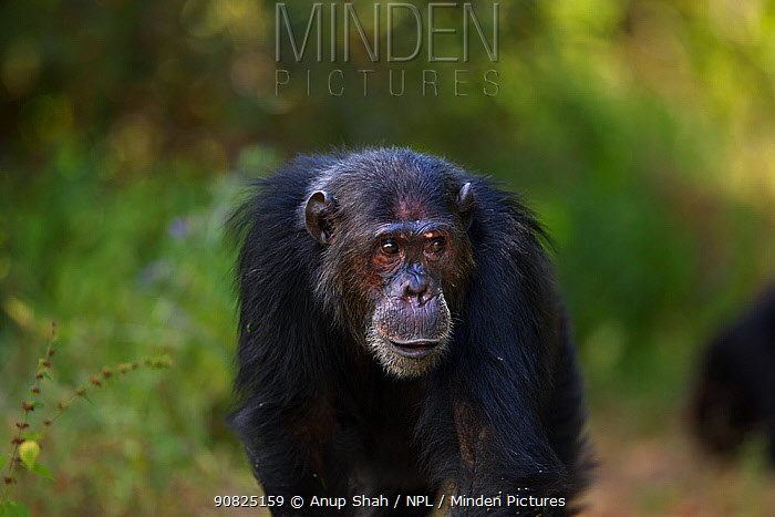 Eastern chimpanzee (Pan troglodytes schweinfurtheii) male 'Faustino' aged 25 years portrait . Gombe National Park, Tanzania. May 2014.