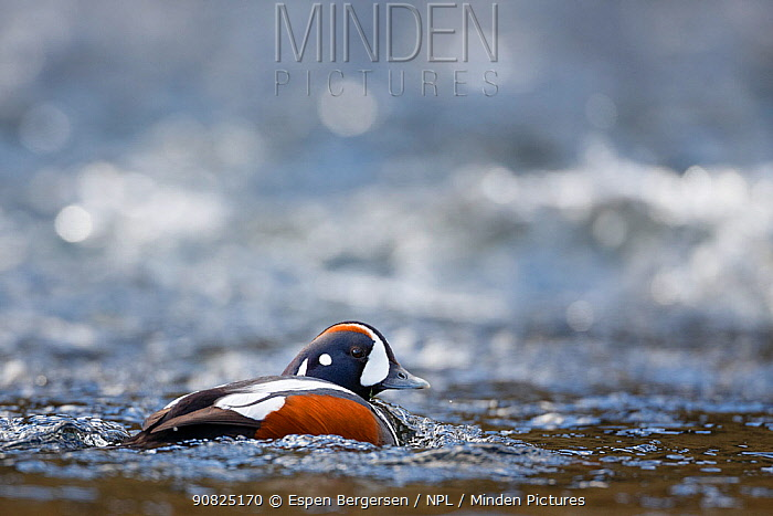 Harlequin duck (Histrionicus histrionicus) male, Iceland