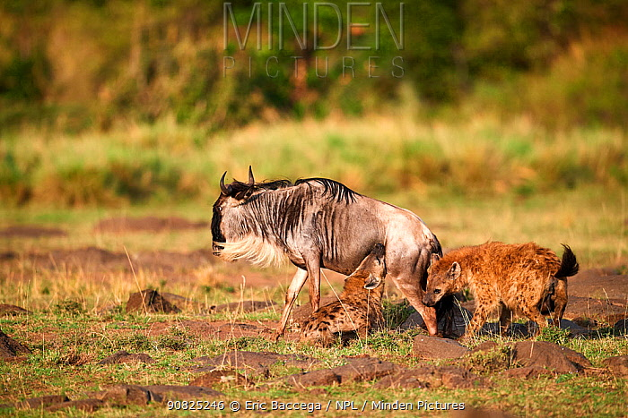 Spotted hyena (Crocuta crocuta) killing an Eastern White-bearded Wildebeest (Connochaetes taurinus) Masai Mara National Reserve, Kenya.