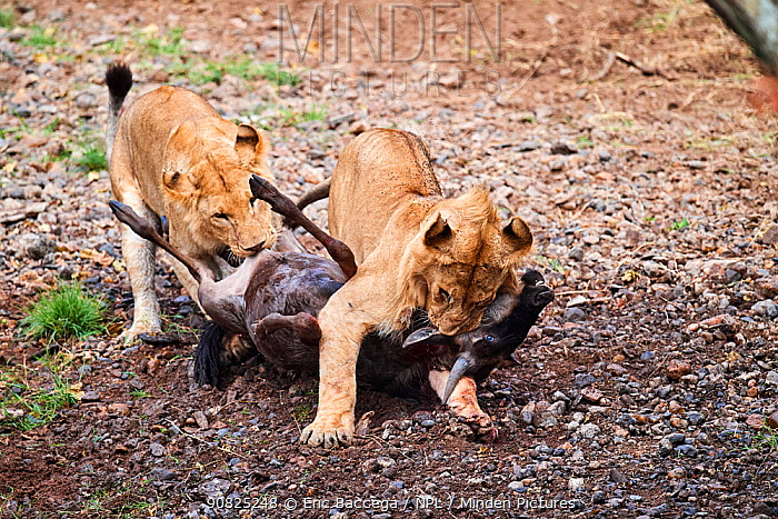 Two young male lions (Panthera leo) suffocating and killing Wildebeest (Connochaetes taurinus) prey. Masai Mara National Reserve, Kenya.