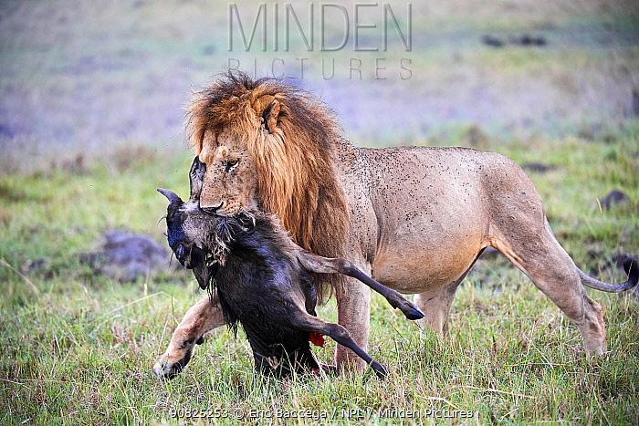 Lion male (Panthera leo) carrying carcass of a dead wildebeest calf (Connochaetes taurinus). Masai Mara National Reserve, Kenya.