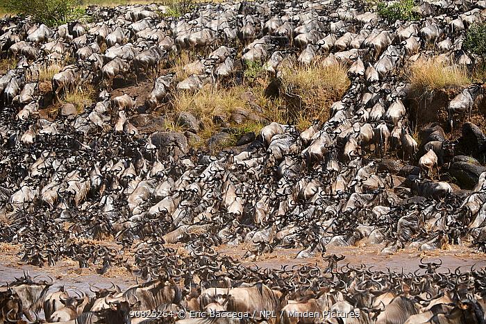 Eastern White-bearded Wildebeest herd (Connochaetes taurinus) crossing the Mara River. Masai Mara National Reserve, Kenya.