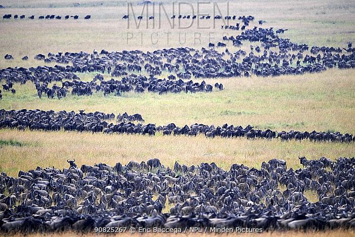 Eastern White-bearded Wildebeest (Connochaetes taurinus) migrating herds, Masai Mara National Reserve, Kenya.