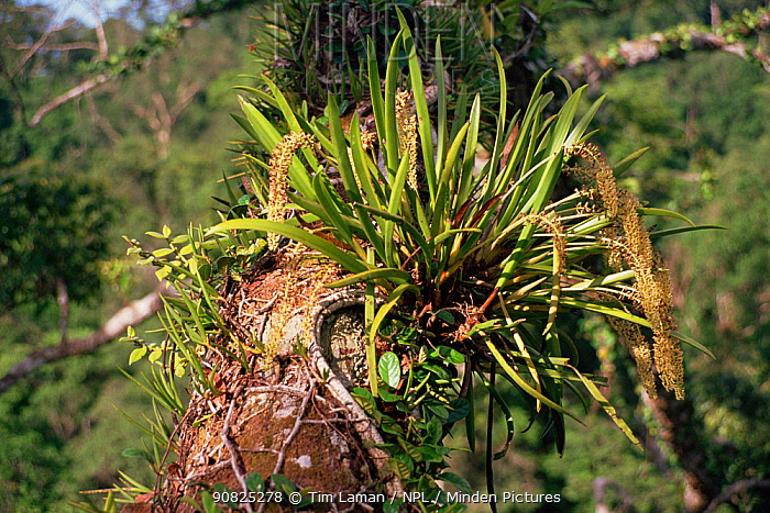 Epiphytic orchid growing on the branch of a large canopy tree, Gunung Palung National Park, Borneo, West Kalimantan, Indonesia