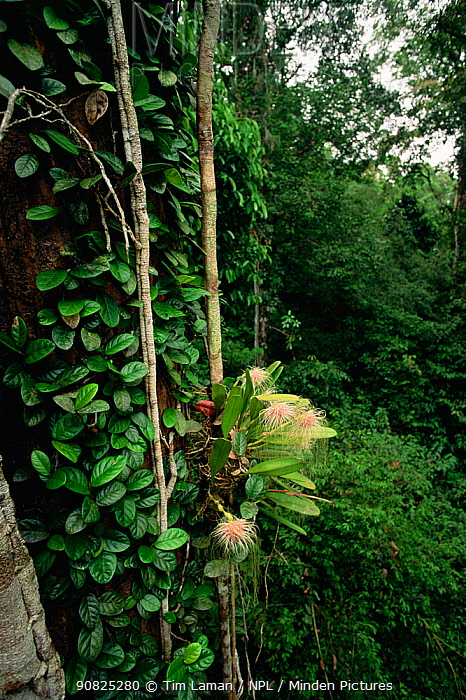 An epiphytic Orchid (Bulbophyllum medusae) growing in the canopy of the lowland rainforest in Borneo. Gunung Palung National Park, Indonesia