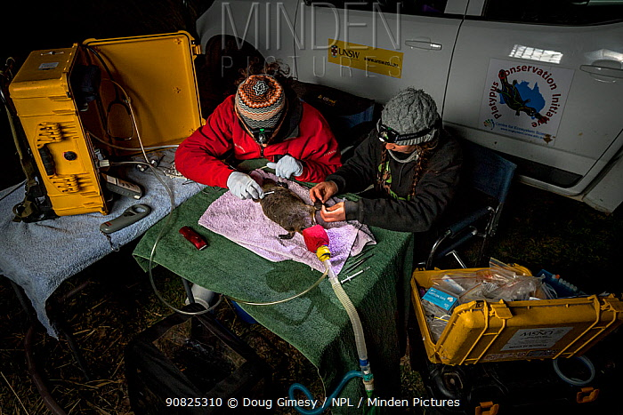 Two researchers examining a anaesthetised Platypus (Ornithorhynchus anatinus) and starting to glue a temporary radio transponder to its tail. Snowy River banks, Dalgety, NSW, Australia. September, 2017. Model released.