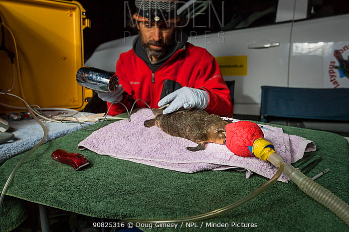 Researchers drying glue, whilst attaching a transponder to the tail an anaesthetised Platypus (Ornithorhynchus anatinus). This temporary radio transponder will allow researchers to track its movements. Snowy River banks, Dalgety, NSW, Australia. September, 2017. Model released.