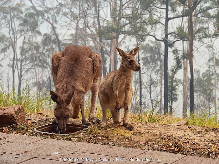 Desperately thirsty eastern grey kangaroos (Macropus giganteus) drink from a bird bath following a bushfire in Tathra, New South Wales, Australia. Water holes had dried up due to drought and food was scarce. Sky darkened by smoke and ash. December 2019.