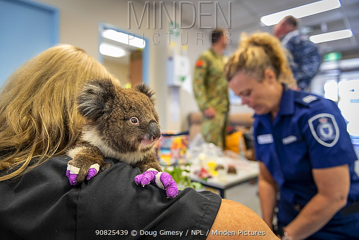 After a flight from Mallacoota and just landing at East Sale RAAF base, a young Koala (Phascolarctos cinereus) named Micky' - one of 6 being evacuated from the Mallacoota wildlife triage centre to Melbourne for further treatment to burns resulting from Mallacoota bushfires - is comforted and given a health check by Zoos Victoria veterinary nurse Leanne De Lacy, before continuing his trip by road to Melbourne. In the background is a DEWLP Forest and Wildlife officer, army and air force personnel. East Sale RAAF Base, Sale, Victoria, Australia. January 2020. Editorial use only.
