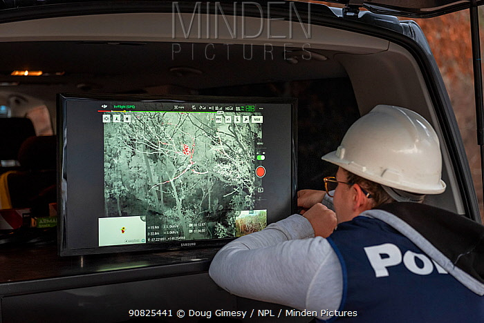 Member of the Victorian Police Remote Piloted Aircraft Systems (Police Air Wing, Specialist Response Division) looking at a screen which is displaying an infra red image, sent via a drone, of a Koala (Phascolarctos cinereus) high up in a tree. This drone is being trailed to help Victorian Forest and Wildlife Officers find koalas so that a health check can the be made and to determine any impact tresulting from the recent bushfires in the area. Gelantipy, Victoria, Australia. January 2020. Editorial use only.