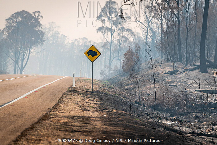 Burnt out watch out for wombats sign on the Great Alpine Road which was burnt during the November/Dec 2019 fires.? Great Alpine Road, Sarsfield, Victoria, Australia. January 2020