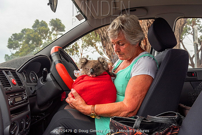 ?Wildlife rescuer Lorna King checks on River' -a young male koala (Phascolarctos cinereus) - before leaving the mobile wildlife triage centre in her car at Bairnsdale to take him home. River was brought in for a health check after the 2019 / 2020 wild fires. He had a small burn and will be weaned off his supplements and then housed with other joeys around the same age. In 3 to 6 months he should then be released. Bairnsdale, Victoria, Australia. January 2020. Editorial use only.