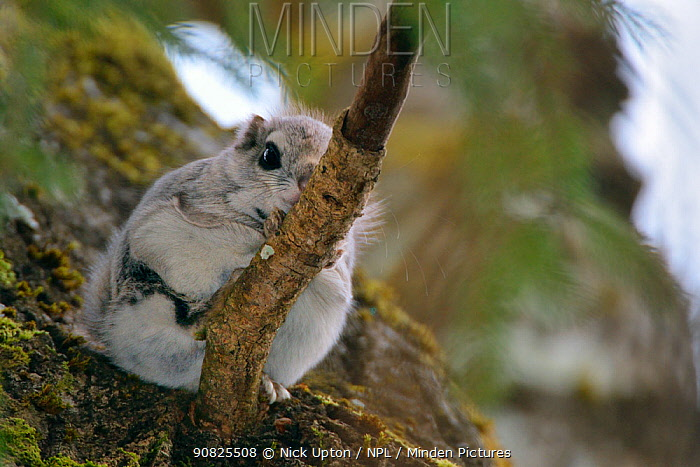 Siberian flying squirrel (Pteromys volans) sitting on a branch in mature mixed forest, near Iisaku, Estonia, April.