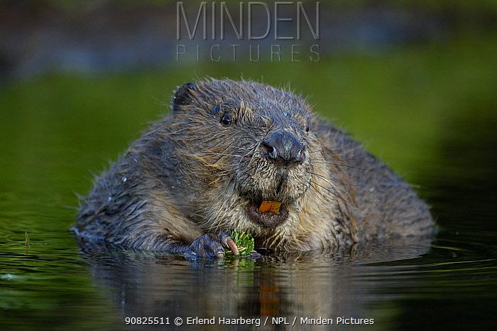 Eurasian beaver (Castor fiber) feeding, Telemark, Norway, June