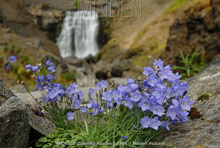 Harebell (Campanula rotundifolia) flowering, Reisa National Park, Troms, Norway, July