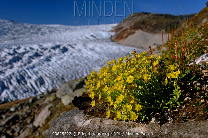 Yellow mountain saxifrage (Saxifraga aizoides) flowering by the Osterdalsisen Glacier, Saltfjellet-Svartisen National Park, Nordland, Norway, August 2006
