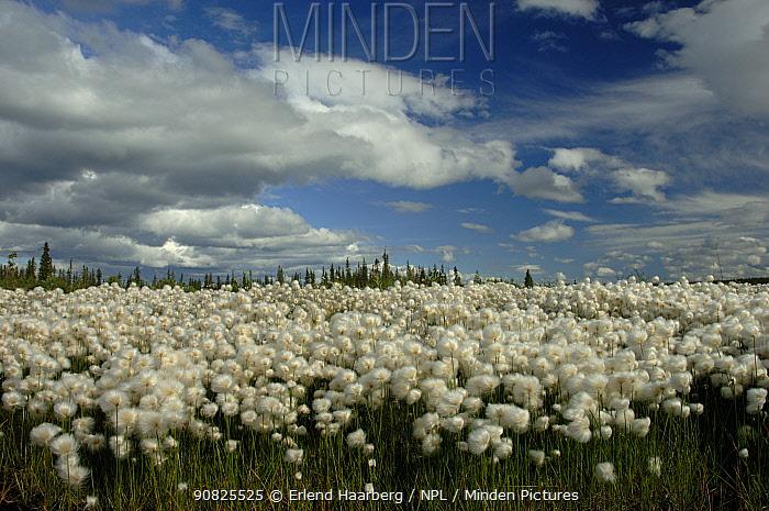 Scheuchzer's cottongrass (Eriophorum scheuchzeri) flowering, Finland, July