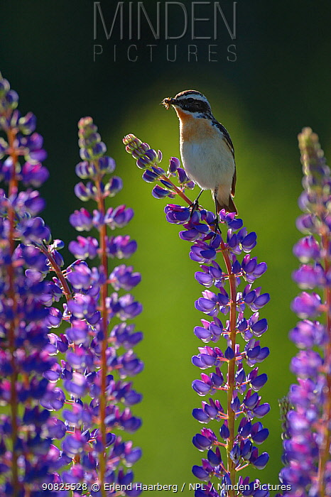 Whinchat (Saxicola rubetra) with food in beak on flowering garden Lupin (Lupinus sp) Telemark, Norway, June