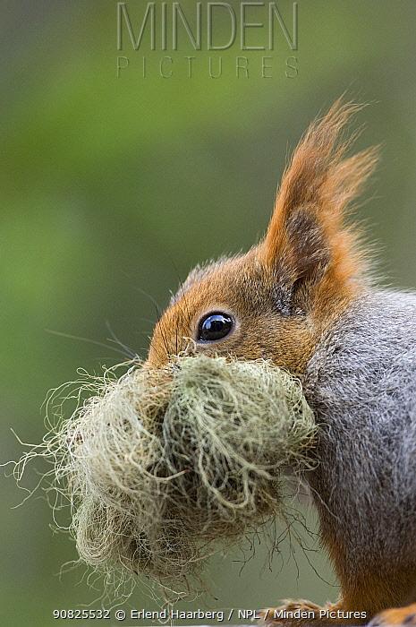 Red squirrel (Sciurus vulgaris) carrying nest material, Klaebu, Sor-Trondelag, Norway, May