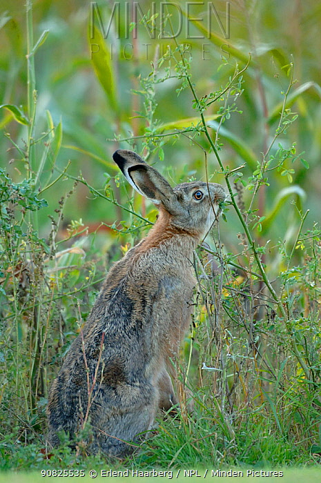 Brown / European hare (Lepus europaeus) feeding, Skane, Sweden, October