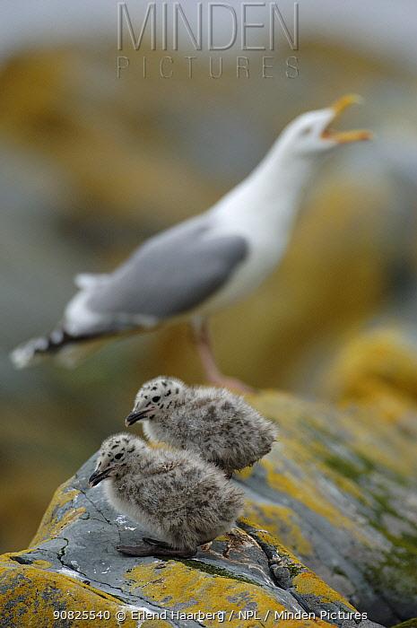 Two Herring gull (Larus argentatus) chicks with adult behind calling, Vardo, Varanger-peninsula, Finnmark, Norway, July