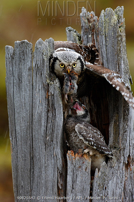 Northern hawk owl (Surnia ulula) feeding chick at nest, Pasvik, Finnmark, Norway, June